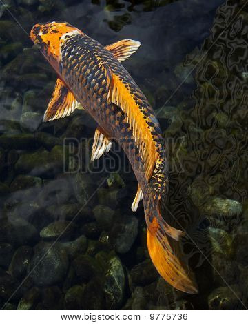 Large orange koi fish stock photo stock images bigstock for Orange coy fish