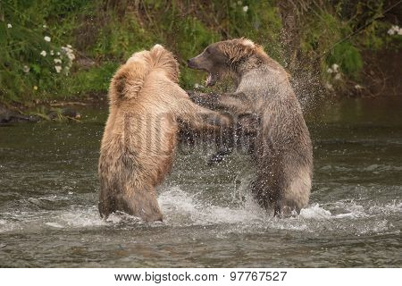 Brown Bears Fighting In Spray Of Water