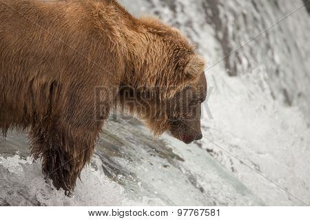 Close-up Of Bear Salmon Fishing On Waterfall