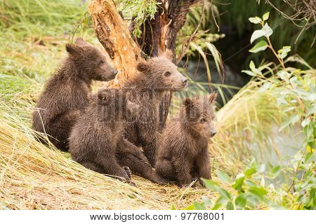 Four Bear Cubs Looking Right Towards River