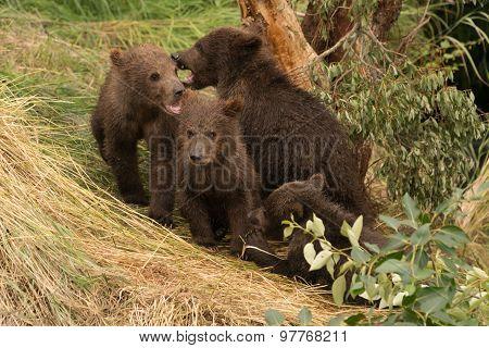 Four Brown Bear Cubs Sitting Beneath Tree