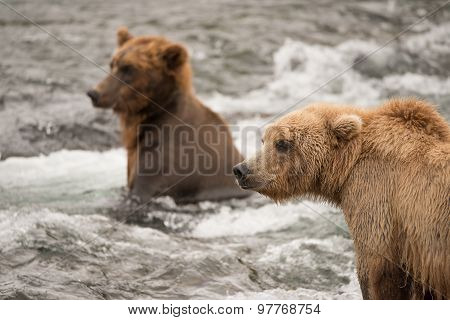 Two Bears Fishing For Salmon In River