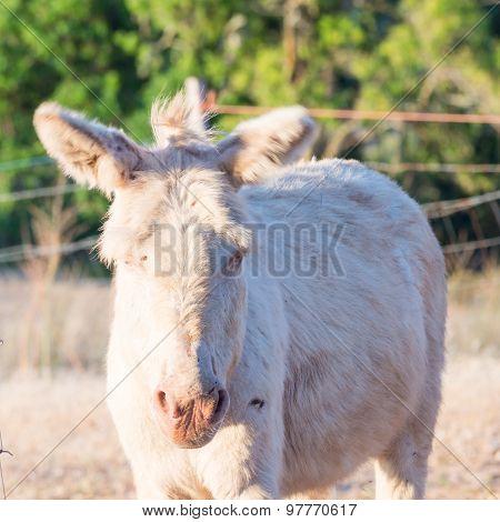 Sardinian Donkey Albino