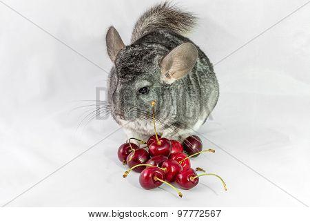 Chinchilla and cherries