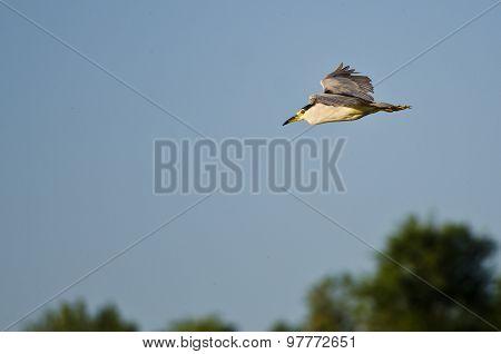 Black-crowned Night Heron Flying Over The Marsh