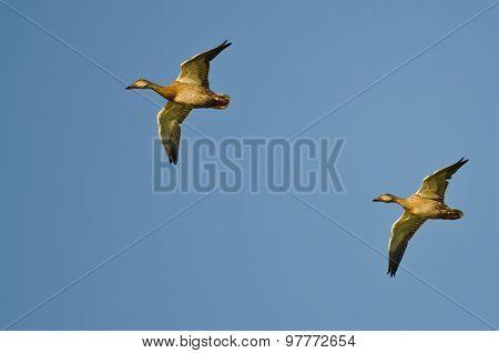 Two Mallard Ducks Flying In A Blue Sky