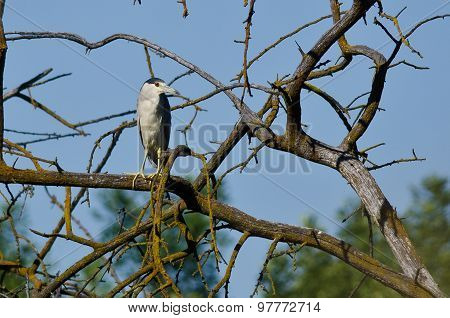 Black-crowned Night Heron Perched In A Tree