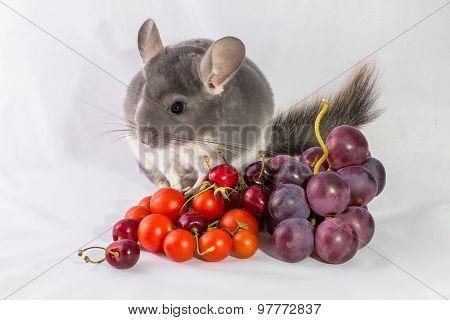 Chinchilla with seasonal food