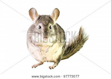 Fat Chinchilla