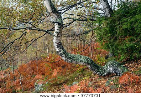 Autumn forest after the rain. Beautiful birch covered with moss. Brown fern under the trees