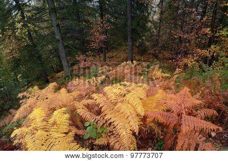 Autumn landscape after rain. Ocher fern in the fir forest.