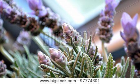 Lavender Blooms Closeup