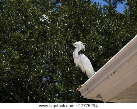 portrait of white egret on a background of green grass. White Crane