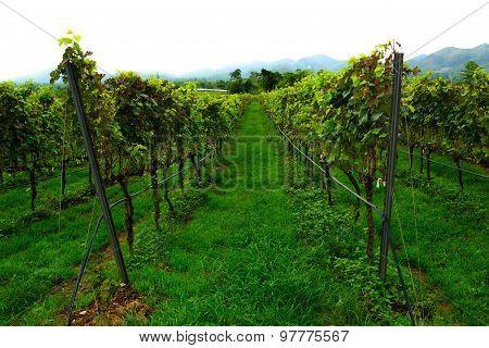 Shiraz Grape Vineyard