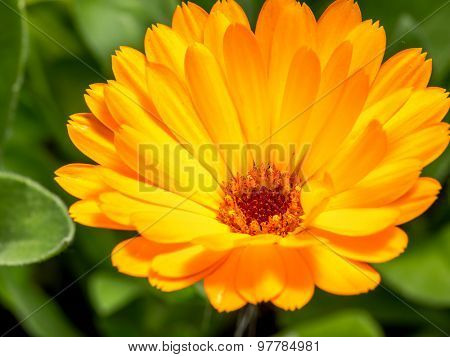 Closeup shot of orange marigold flower in blossom