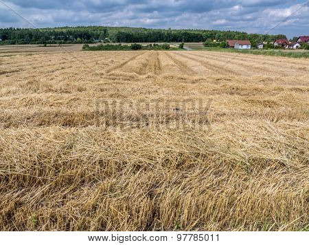 Harvested field of rye