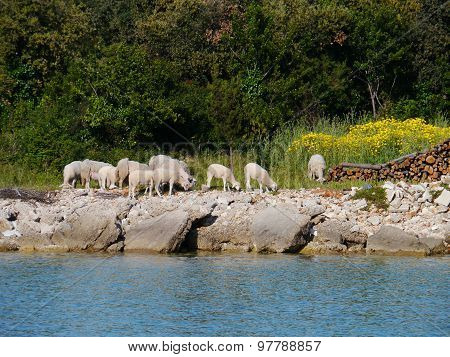 Sheep at the waterfront of the bay of Olib