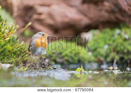 Great tit taking bath in lake