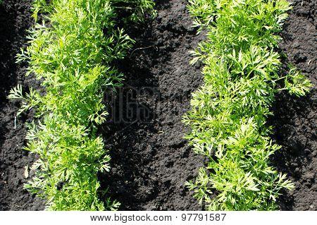 Carrots Seedlings Growing On A Vegetable Bed