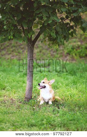 Happy Dog Welsh Corgi Pembroke Sitting On The Grass Near Tree In Summer Day
