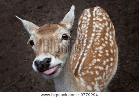 Cute Young Deer Showing The Tounge