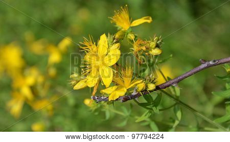 Yellow flowers of hypericum perforatum. St. john's worth