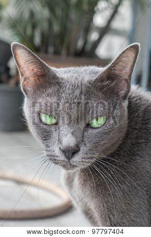 Grey cat looking at camera