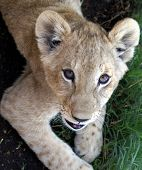 Playful Lion Cub Giving A Stare poster