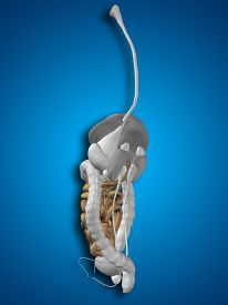 stock photo of intestines  - Concept conceptual 3D human or man anatomy of intestine organ and digestive system illustration on blue background - JPG
