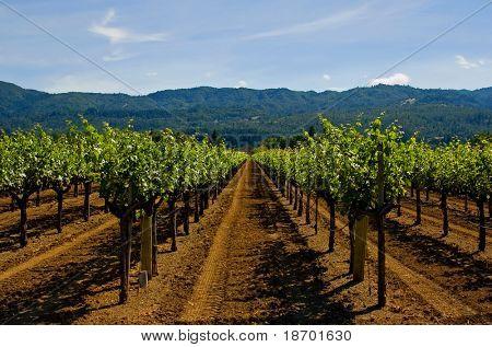 Napa Valley vineyard in California