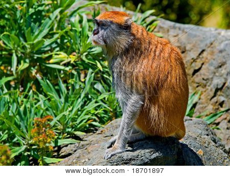 Patas monkey sitting on the rock