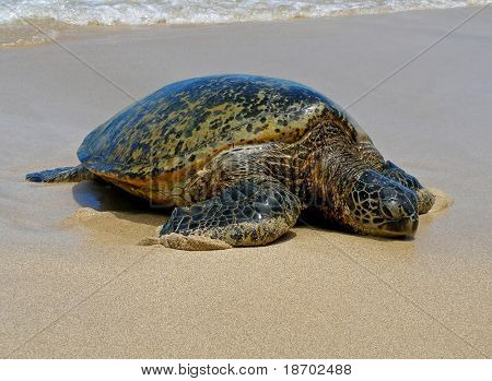 Sea Turtle resting on the beach in Hawaii