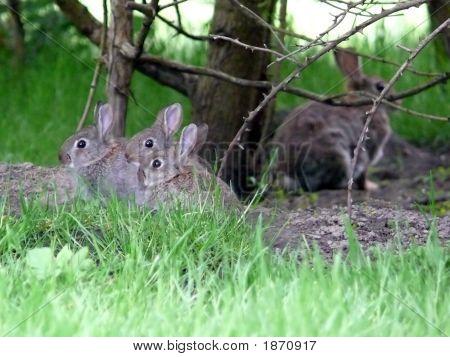 Wild Rabbit Family