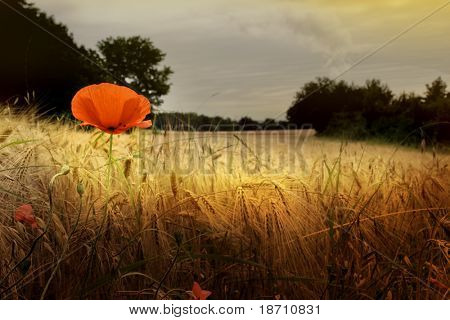 Red poppy in prairie