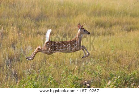 White Tailed Deer Fawn Leaping In Field