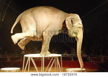 Circus Elephant On Platform