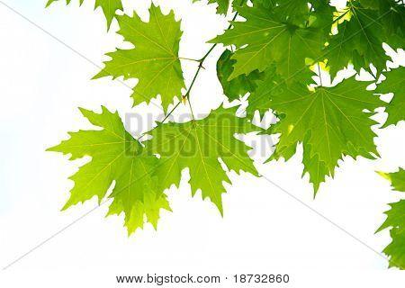 Ahornbaum Blätter Nahaufnahme