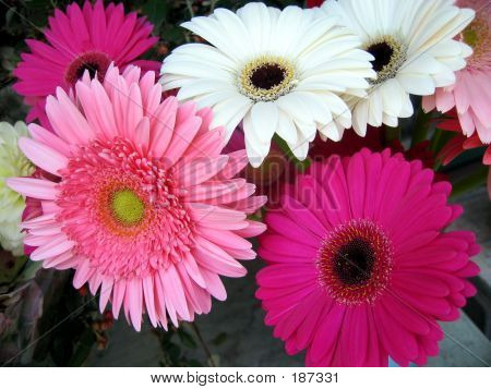 Pink And White Gerbera Daisies