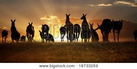 Australian outback kangaroo series