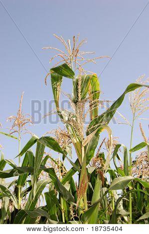 maíz verde