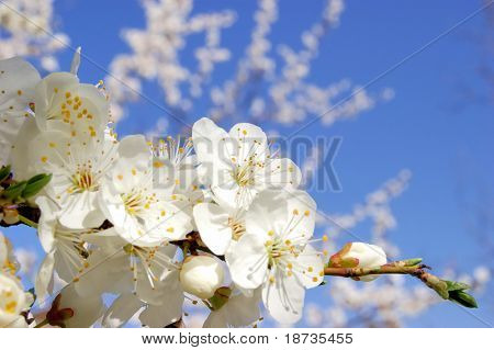plum bloom