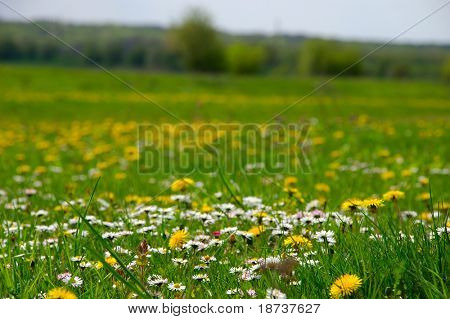 daisy and dandelion flowers in green field grass