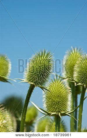 thorny weed