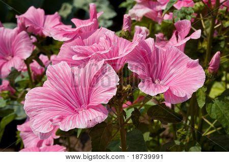 flower Malvaceae Malva moschata
