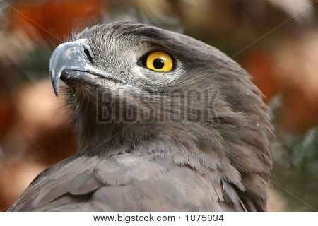 Brown Snake Eagle Portrait