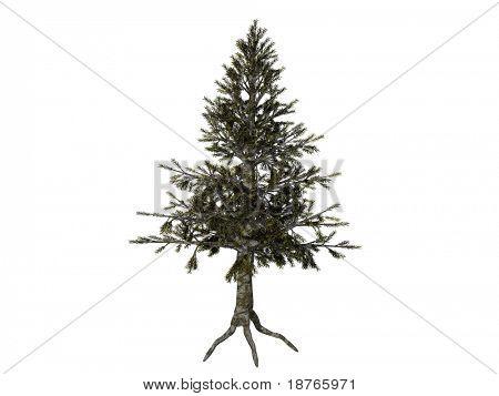 hemlock tree isolated