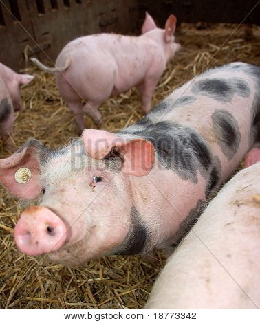 Pink pig with black dots smiling into the camera