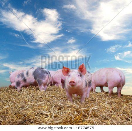 Pandilla de cerdos jóvenes en paja con cielo azul