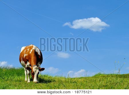 Brown and white cow on green grass with a blue sky and a single cloud