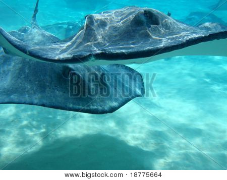 Two Southern Atlantic Stingrays (Dasyatis americana) approaching camera at